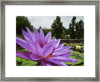 Purple Lotus Flower Framed Print