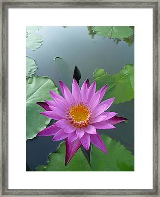 Purple Lotus In A Pond Framed Print by Gregory Smith