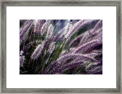 Purple Ornamental Fall Grass Framed Print by Marjorie Imbeau