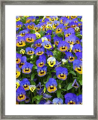 Purple Pansies 1 Framed Print