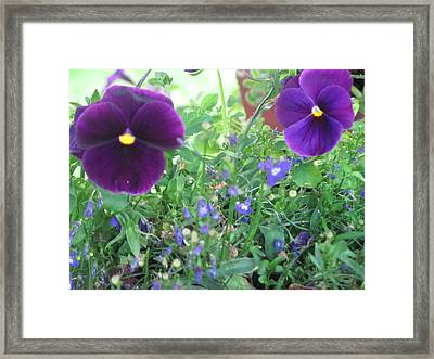 Purple Pansy's Framed Print by Amy Bradley