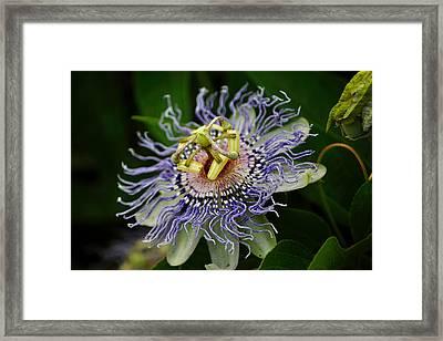 Purple Passion Vine Framed Print