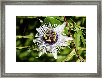 Purple Passionflower Framed Print by April Wietrecki Green