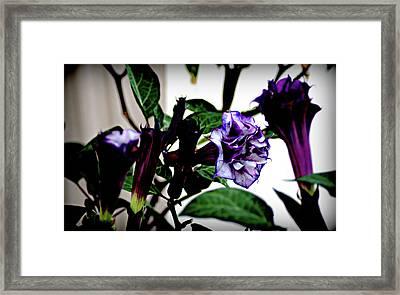 Purple People Eater Trumpet Flower Framed Print by John Wright