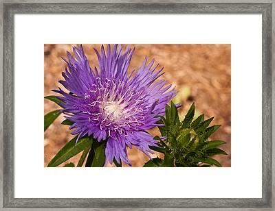 Purple Pincusion 1 Framed Print
