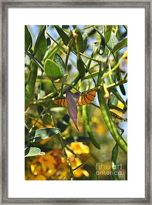 Purple Pink Green Chrysalis  Framed Print