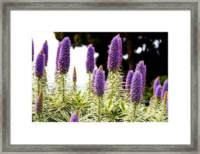Purple Pride Of Madeira Flowers . 7d14797 Framed Print by Wingsdomain Art and Photography