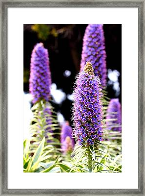 Purple Pride Of Madeira Flowers . 7d14801 Framed Print by Wingsdomain Art and Photography