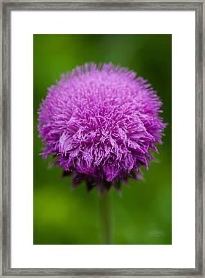 Purple Puff Framed Print by Melissa Wyatt
