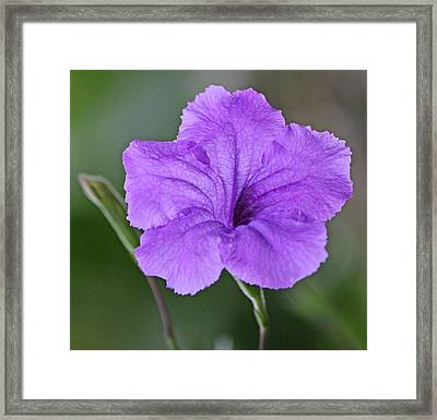 Purple Ruellia Framed Print by Becky Lodes