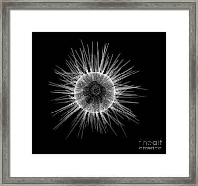 Purple Sea Urchin Framed Print by Ted Kinsman