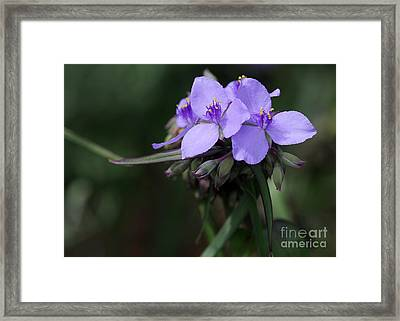 Purple Spiderwort Flowers Framed Print by Sabrina L Ryan