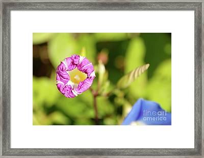 Purple Star Framed Print by Ken Williams