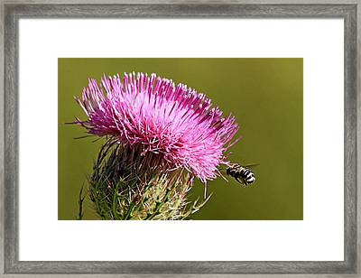 Purple Thistle Visited By A Bee Framed Print