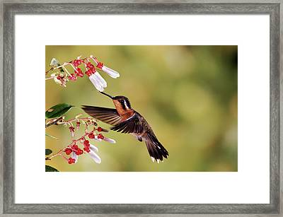 Purple-throated Mountain-gem Lampornis Framed Print by Michael & Patricia Fogden