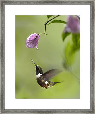 Purple Throated Woodstar Hummingbird Framed Print