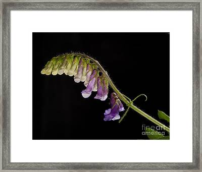 Framed Print featuring the photograph Purple Vetch by Art Whitton