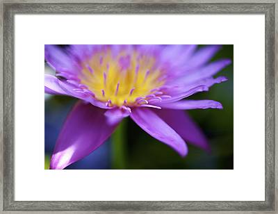 Purple Water Lily Petals Framed Print by Kicka Witte
