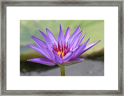 Purple Waterlily Framed Print by Becky Lodes