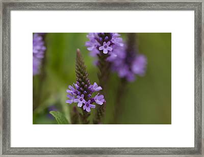 Purple Wildflower Framed Print by Dean Bennett