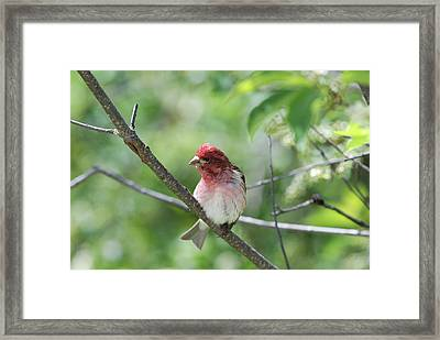 Purrple Finch Pose Framed Print