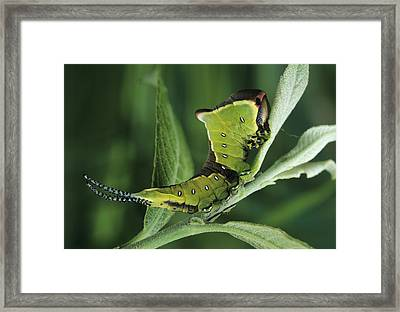 Puss Moth Caterpillar Framed Print by David Aubrey