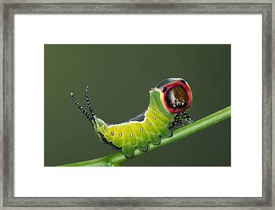 Puss Moth Cerura Vinula On Stem, Europe Framed Print by Ingo Arndt