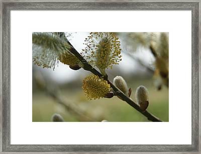 Pussy Willow Framed Print by Heidi Poulin