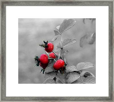 Pyracantha Red Berries Framed Print by Ms Judi