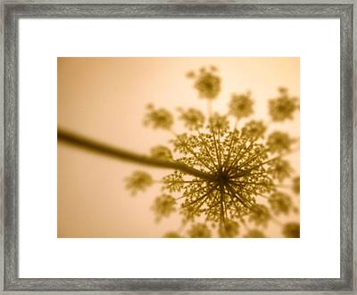 Queen Anne's Lace Dream Framed Print