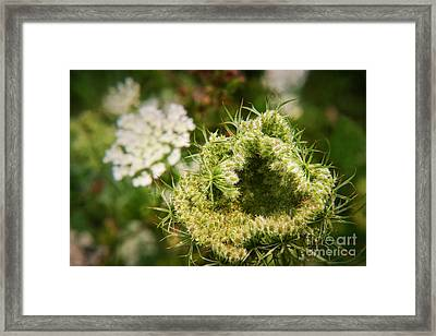 Queen Anne's Lace Going To Seed Framed Print by Susan Isakson