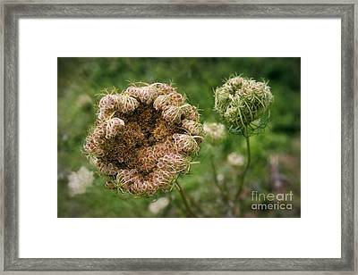 Queen Anne's Lace Gone To Seed Framed Print by Susan Isakson