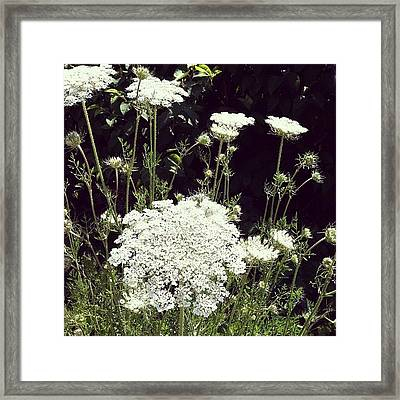 Queen Anne's Lace Framed Print by Michelle Calkins