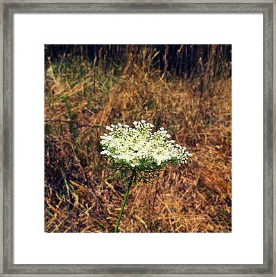 Queen Anne's Lace On The Beach Framed Print by Michelle Calkins