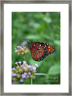Framed Print featuring the photograph Queen Butterfly by Eva Kaufman