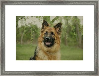 Queena - German Shepherd Framed Print by Sandy Keeton