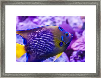 Quenn Angelfish Framed Print by Scotts Scapes