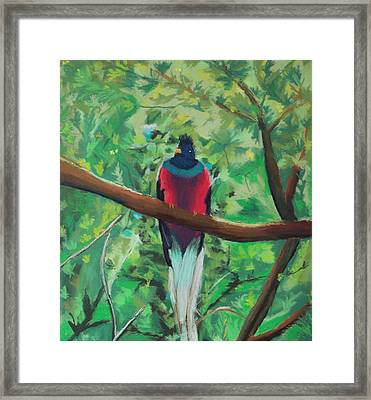 Quetzal In Costa Rica Framed Print