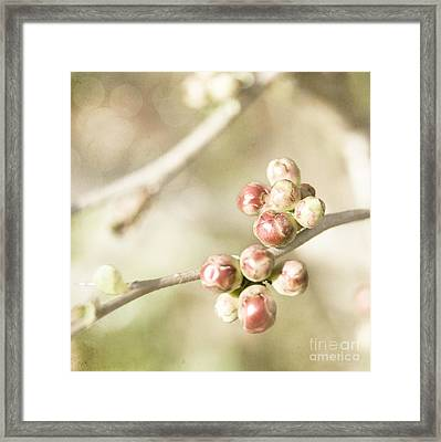 Quince Buds Close-up Framed Print