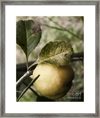 Quince Fruit Framed Print by Agnieszka Kubica