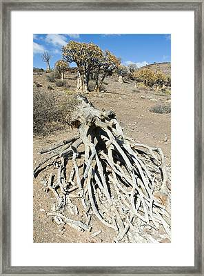 Quiver Trees Framed Print
