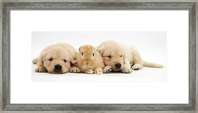 Rabbit And Puppies Framed Print by Jane Burton