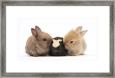 Rabbits With Guinea Pig Framed Print by Mark Taylor