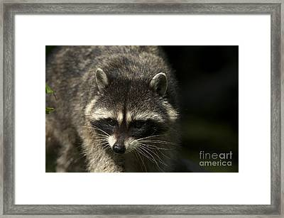 Raccoon 2 Framed Print