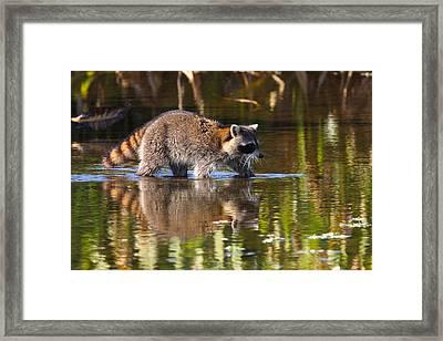 Raccoon Foraging  Framed Print by Bruce J Robinson