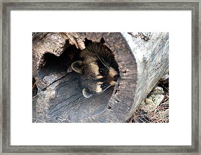Framed Print featuring the photograph Raccoon In Hiding by Kathy  White