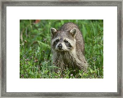 Framed Print featuring the photograph Raccoon Looking For Lunch by Myrna Bradshaw
