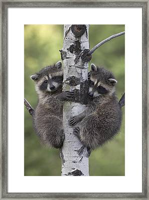 Raccoon Two Babies Climbing Tree North Framed Print