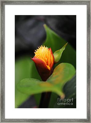 Radiance Framed Print by Susan Brown