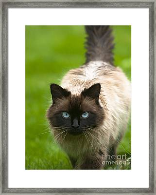 Framed Print featuring the photograph Ragdoll Cat by Andrew  Michael